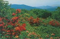 Georgeous Flame Azalea in Full Bloom atop Gregory Bald in the Great Smoky Mountains National Park (GS-384)
