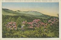 Rhododendron in Bloom at the Foot of Mt. Mitchell, Wester North Carolina (343)