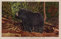 Black Bear; The Great Smoky Mountains National Park