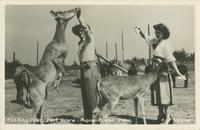 Feeding Deer - Fort Weare - Pigeon Forge, Tenn. (1-1-446)