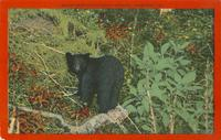 Black Bear Cub in Great Smokies, Tennessee (82)
