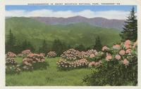 Rhododendrons in Smoky Mountain National Park, Tennessee (84)