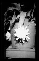 Night Blooming Flowers [Prints in Box 33, Folder 38] (3 of 3)