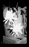 Night Blooming Flowers [Prints in Box 33, Folder 38] (1 of 3)