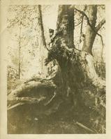 Ladies in a tree