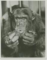 Photograph of a Chimpanzee Drinking Coke