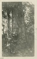 Chestnut Tree on way to Guyot. Over 20 ft. in circumference. Aug 31 - Sept 1-2-1929 (image number 348)