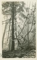 Vine on trail between Tremont & Thunderhead. Special Hike March 22-1931 (image number 693)