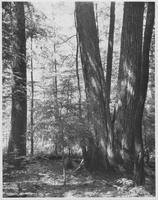 Large Trees in Porters Flats