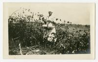 [An African-American club girl picking cotton in her garden plot]