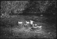 Ducks at Willie Myers. Cades Cove