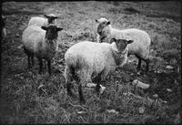 Sheep at Willie Myers. Cades Cove